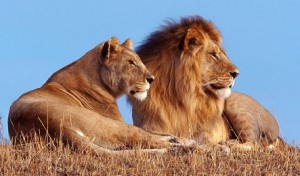 Lions To Roar In Rwanda After Over 20years