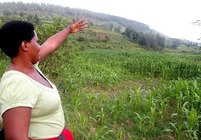 Retired sergent Odette Nyinawumuntu shows the maize farm of her cooperative in Ngoma, Eastern Province.