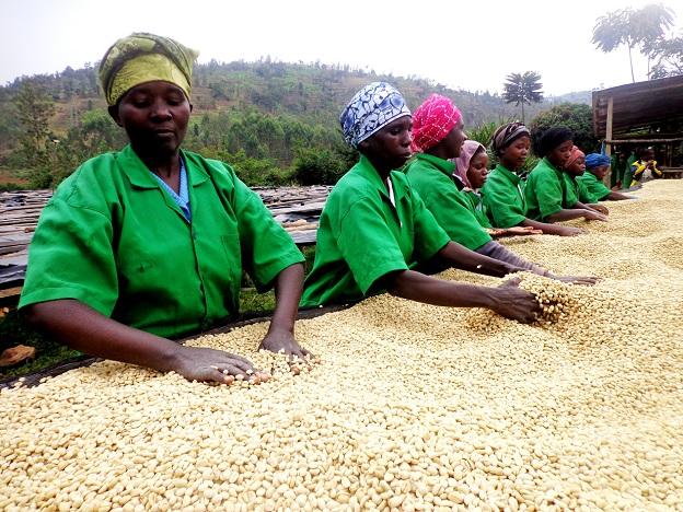 Rwandan women drying coffee beans.