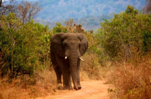 Elephant in Akagera National Park in Eastern Rwanda