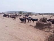 Long Drought Kills 2,000 Cows
