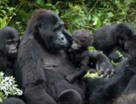 Rwanda Hikes Gorilla Permit Tariffs