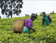 Rwandan Farmers Reject Imported Tea
