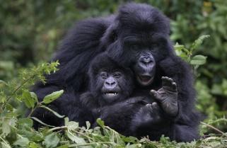 Rwanda To Conduct Gorilla Census