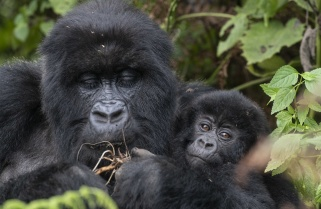 Kwita Izina 2019: Meet Baby Gorillas to Be Named