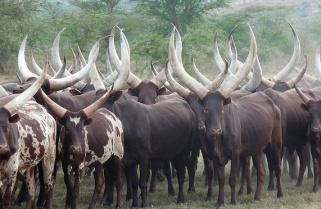 Minagri Lifts Quarantine on Cattle