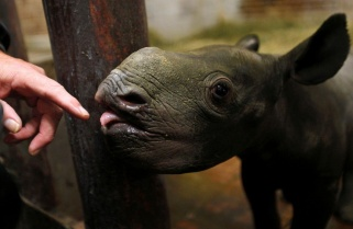 Czech Republic, Denmark and UK Send Endangered Rhinos to Rwanda