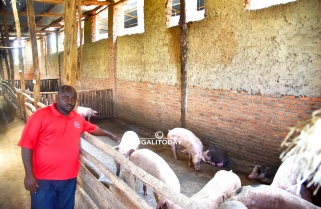 For Him, Piggery is More Attractive Than Government Job