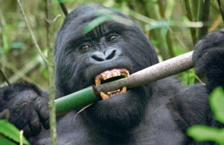 Rwanda to Invest $180M in Gorilla Habitat Expansion