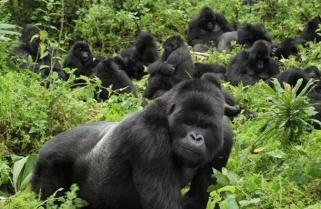 Rwanda Increases Gorillas Habitat by 27hectares