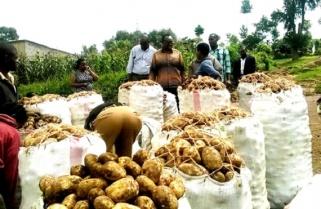 Bumper Harvest As Middlemen Reap Big From Rwandan Farmers