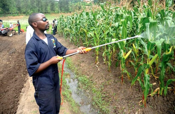 Farmer irrigates maize crop garden