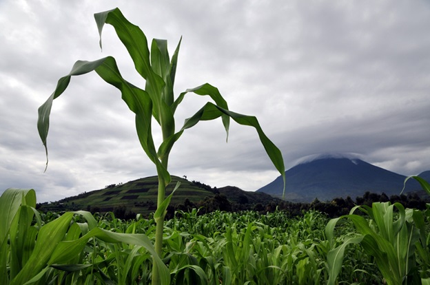Maize farming in Musanze District, northern Rwanda also requires fertilizers