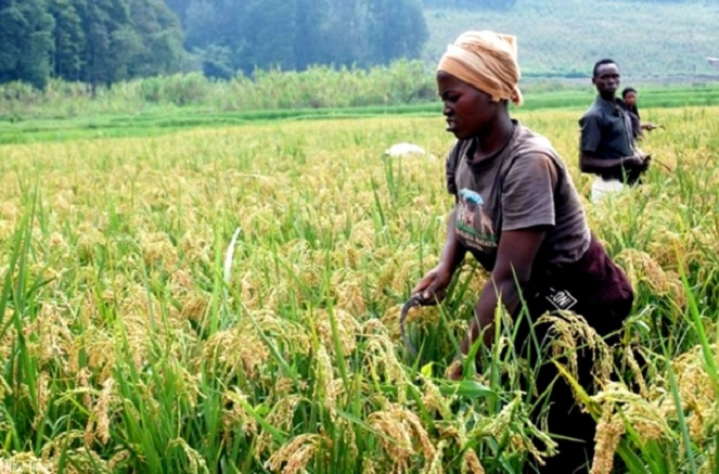 A farmer harvesting Rice