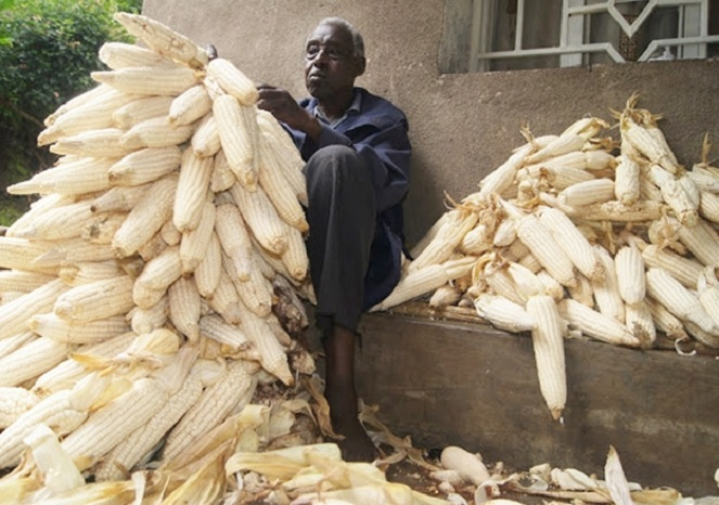 A farmer sorting maize after harvest
