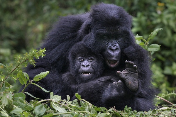 A mountain Gorilla cuddles its baby in their natural habitat in Rwanda's Volcano Mountain