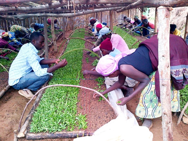 Farmers sorting Stevia seedlings at a nursery bed
