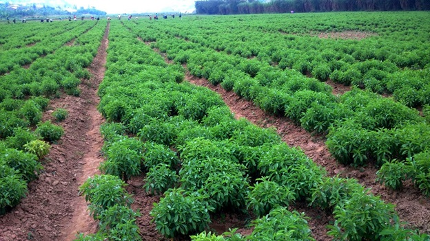 Stevia in the field