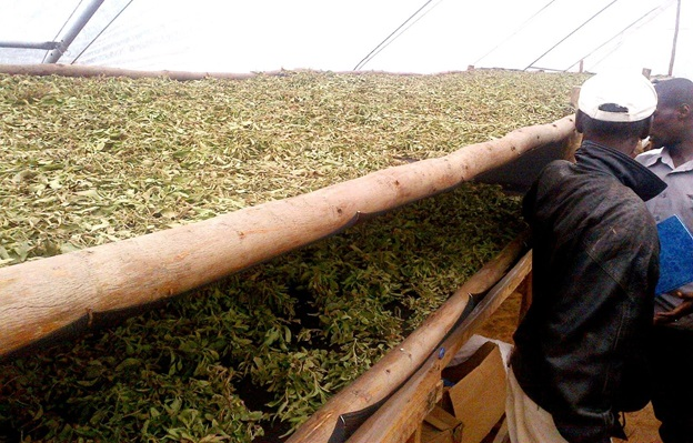 Harvested Stevia leaves drying at a collection center