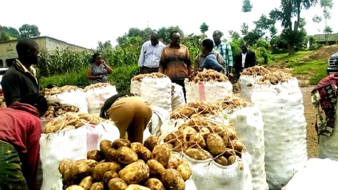 Trade and Industry Minister Francois Kanimba inspects irish Potato collection center  for Mudende and Bugeshi sectors in Rubavu district