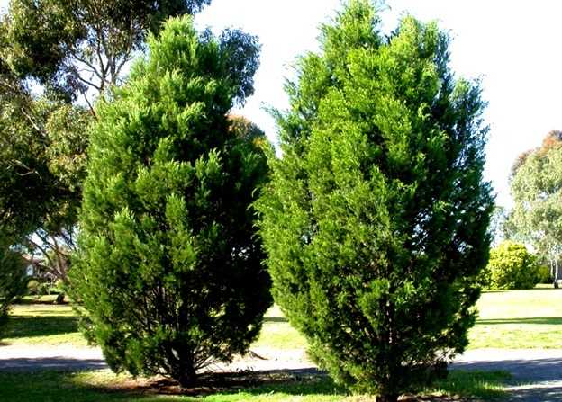 A pair of conifer tree usually used for Christmas tree.