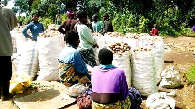Farmers deliver bags of Irish potatoes at a collection center waiting for traders