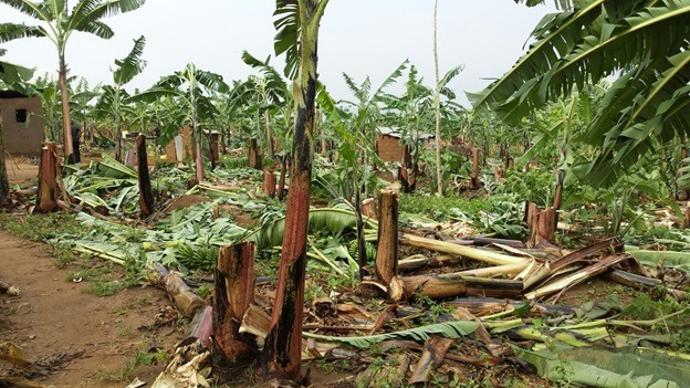 Banana Plantation destroyed during heavy rains in Eastern Province  A