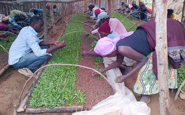 Farmers sorting Stevia seedlings at a nursery