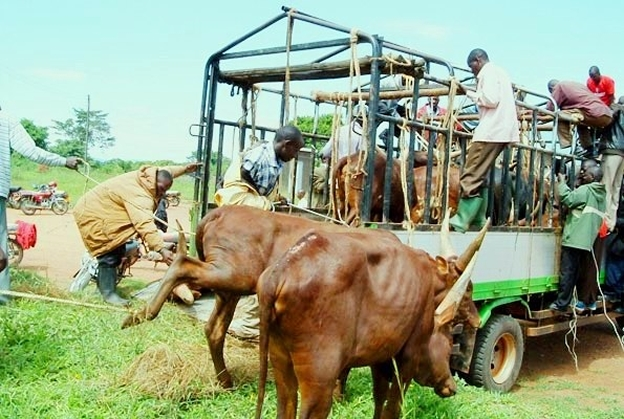 Traders load cattle on a truck.