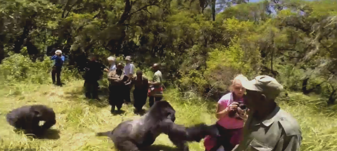 while playing, the silver-bark mountain gorilla bumped Gemma Cosgriff to the ground