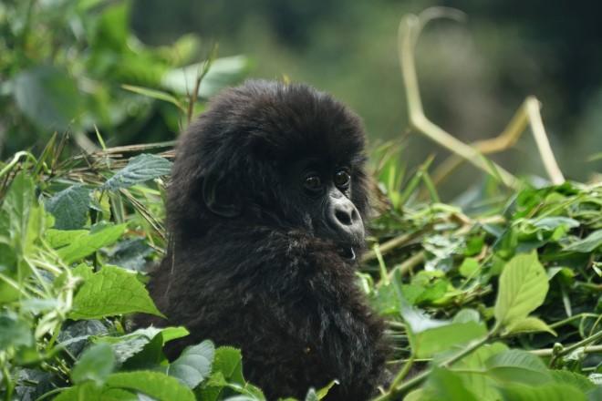 Date of Birth: 26 June2015; Mother: Kampanga; Family Group:Sabyinyo