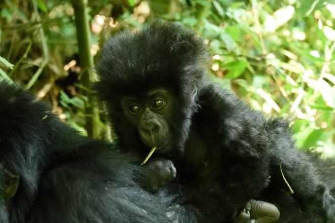 Date of Birth: 21 January 2016; Mother: Okapi; Family Group:Kwitonda