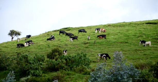 Cattle grazing at Gishwati