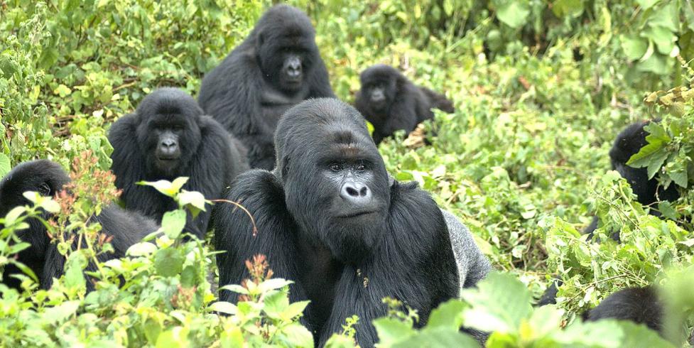 Mountain Gorilla family in Rwanda's Volcanoes National Park