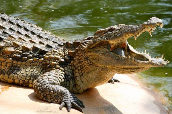 mature crocodile sunbathing