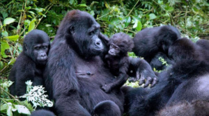 Rwanda Kick Starts Tourism with Promotional Permits to See Mountain Gorillas