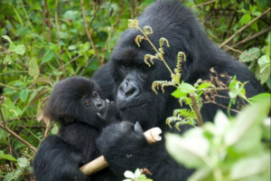 Microsoft's Bill Gates Visited Rwanda Gorillas, Named One, and it's Now Got a New Sister