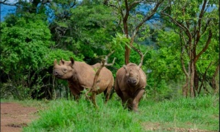 Black Rhinos Reintegration into Akagera National Park in Final Stage