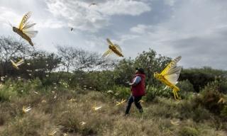 Rwanda Strengthens Preparedness for Potential Desert Locusts Invasion