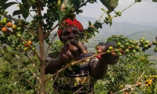 Coffee Farmers Focus on Sustainability after NAEB-PRICE Project
