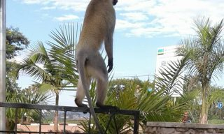 Monkey Menace: Huye Residents Rattled by Rampaging Apes