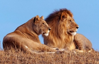 Lions To Roar in Rwanda After Over 20 years