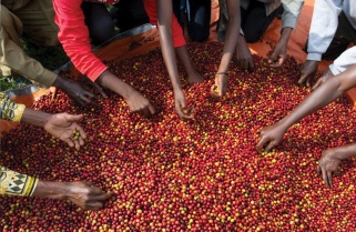 Rwanda Maintains Coffee Price at Rwf190