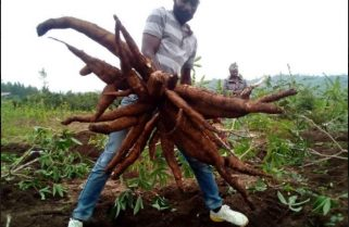 Featured: Ingabo Syndicate, Agriterra Turning Around Cassava Production