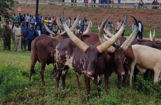 Rwanda Returns Stolen Cows to Tanzania