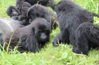 They Are Back! Group of Mountain Gorillas that Had Crossed to Uganda Returns