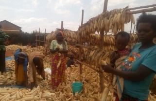 Maize Farmers Borrow A Leaf from Traditional Post Harvest Technics