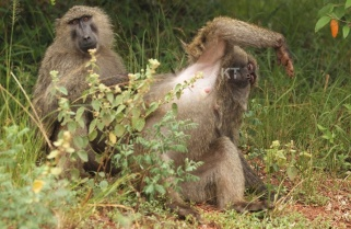Baboon Attack Hastens Realisation of Idyllic Vision of the Future