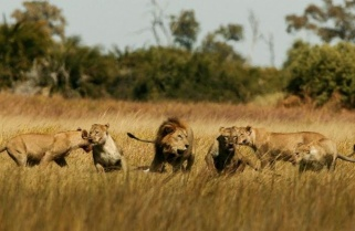 National Geographic Ready to Screen Rwanda Lions