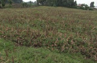 3,800 Tons: Heavy Loss Looming Among Onions Farmers In Western Province